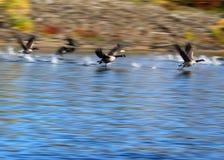 Gansos canadenses que descolam para o voo que faz o respingo na água foto de stock