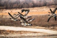 Gansos canadenses que voam sobre uma lagoa em Decorah Iowa Imagem de Stock