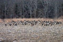 Gansos canadenses selvagens no campo de milho Fotografia de Stock