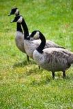 Gansos canadenses selvagens no prado Fotografia de Stock