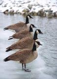 Gansos canadienses alineados en una corrección del hielo Imagen de archivo libre de regalías