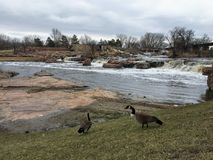 Gansos canadienses delante de Sioux River grande en Sioux Falls, Dakota del Sur con las opiniones la fauna, ruinas, trayectorias  Imágenes de archivo libres de regalías