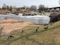 Gansos canadienses delante de Sioux River grande en Sioux Falls, Dakota del Sur con las opiniones la fauna, ruinas, trayectorias  Fotos de archivo libres de regalías