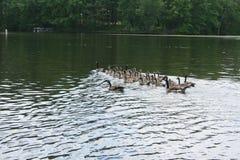 Gansos canadienses en el lago Imagen de archivo libre de regalías