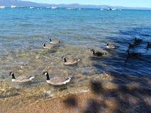Gansos canadienses en el lago Tahoe imagenes de archivo