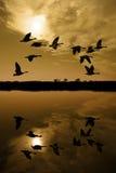 Gansos canadienses en la puesta del sol Imágenes de archivo libres de regalías