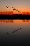 Gansos canadienses en la puesta del sol Fotografía de archivo