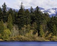 Gansos canadienses en una charca con el bosque y la montaña en el fondo foto de archivo