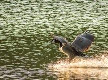 Gansos canadienses que aterrizan en el agua con la extensión de las alas Fotos de archivo libres de regalías