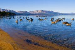 Gansos canadienses que nadan en el lago Imagen de archivo