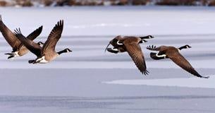 Gansos canadienses que toman vuelo sobre un lago congelado Imagenes de archivo