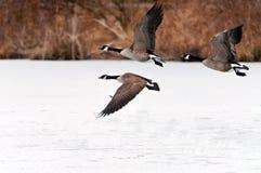 Gansos canadienses que toman vuelo sobre un lago congelado Foto de archivo