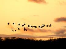 Gansos canadienses que vuelan en la puesta del sol Imágenes de archivo libres de regalías