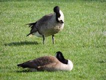 Gansos canadienses salvajes que se atusan en el prado que mordisca la hierba, hierba jugosa verde, en el parque de Indianapolis,  fotos de archivo