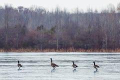 Gansos canadienses salvajes que vuelan sobre reserva en invierno foto de archivo