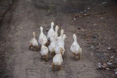 Gansos cinzentos brancos na vila Imagens de Stock