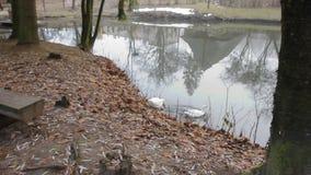 Gansos cinzentos com natação de Gosling no lago filme