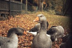 Gansos cinzentos em uma exploração agrícola - folhas de outono no fundo Fotografia de Stock Royalty Free