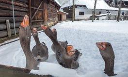 Gansos com fome na vila Fotos de Stock Royalty Free