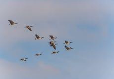 Gansos da migração Foto de Stock