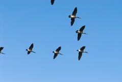 Gansos da migração Fotografia de Stock