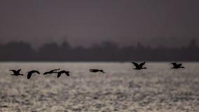 Gansos da silhueta no lago imagens de stock royalty free
