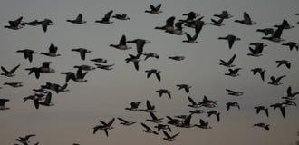 Gansos de barnacla en vuelo Fotos de archivo