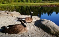 Gansos de Canadá Foto de Stock Royalty Free