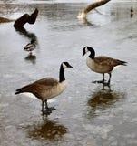 Gansos de Canadá e patos do pato selvagem no gelo foto de stock