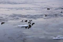 Gansos de Canadá e um par gansos de neve que flutuam no St Lawrence River foto de stock