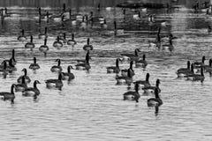 Gansos de Canadá em preto e branco Fotografia de Stock
