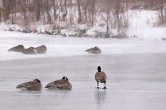 Gansos de Canadá em um lago - Nebraska imagem de stock