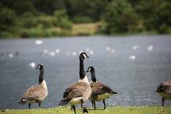 Gansos de Canadá en el lago de Broadwood, Cumbernauld Escocia imagen de archivo libre de regalías
