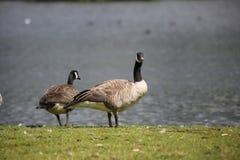 Gansos de Canadá en el lago de Broadwood, Cumbernauld Escocia imagenes de archivo