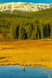 Gansos de Canadá en el primero plano de las colinas Fotografía de archivo