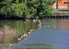 Gansos de Canadá en el río Derwent, Derby fotos de archivo