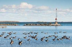 Gansos de Canadá en la orilla meridional del lago Simcoe en Ontario imagenes de archivo