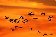 Gansos de Canadá en la puesta del sol Imagen de archivo libre de regalías