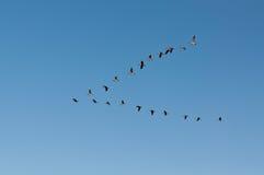 Gansos de Canadá en vuelo Foto de archivo
