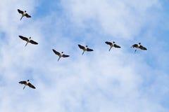 Gansos de Canadá en vuelo Fotografía de archivo libre de regalías