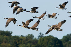 Gansos de Canadá en vuelo sobre árboles Fotos de archivo