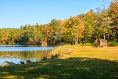 Gansos de Canadá na costa de Burr Pond imagem de stock royalty free