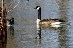 Gansos de Canadá na lagoa sul foto de stock royalty free