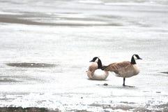 Gansos de Canadá no gelo Fotografia de Stock