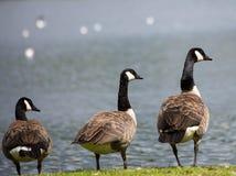 Gansos de Canadá no Loch de Broadwood, Cumbernauld Escócia imagens de stock
