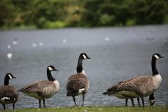 Gansos de Canadá no Loch de Broadwood, Cumbernauld Escócia fotos de stock