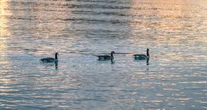 Gansos de Canadá no por do sol Foto de Stock Royalty Free