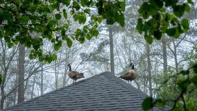 Gansos de Canadá no telhado do miradouro imagem de stock
