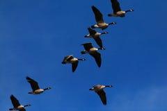 Gansos de Canadá no vôo Fotografia de Stock