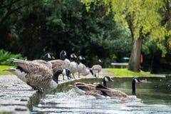 Gansos de Canadá que entram na água Imagem de Stock